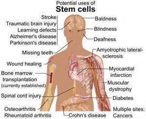 Postulated uses of stem cells